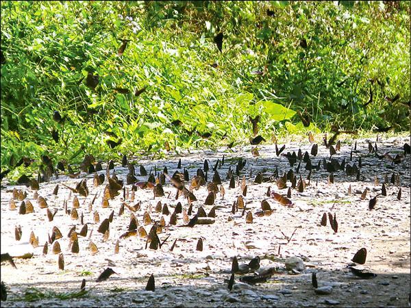 茂林紫斑蝶形成的「蝴蝶地毯」景象。(茂管處提供)