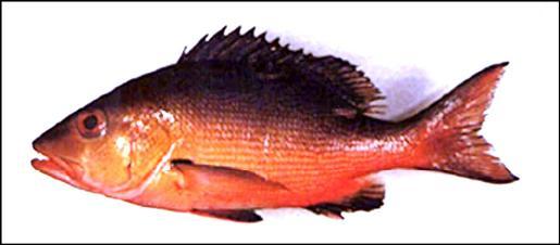 有民眾誤食「雙斑笛鯛」(左圖)引發中毒。(食藥署提供)