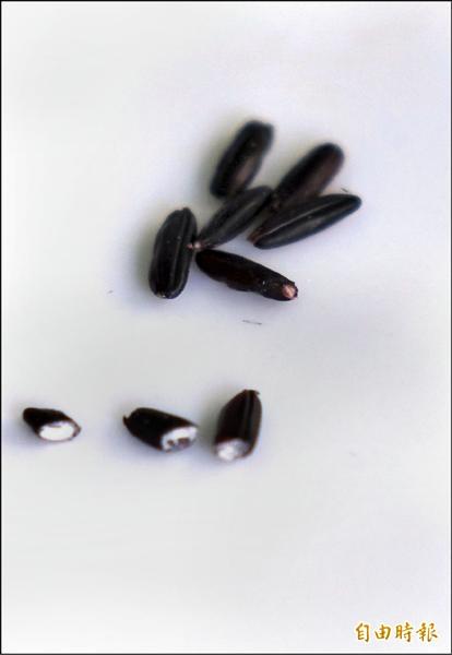 紫黑米脫去稻殼後,雖表皮是紫黑色,但米心還是白色的。(記者劉曉欣攝)