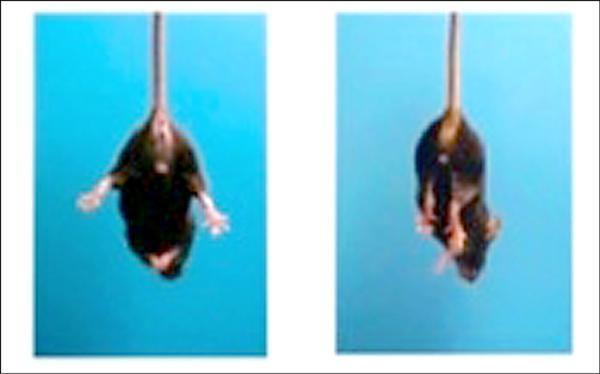 中研院分子生物研究所特聘研究員沈哲鯤最新動物實驗發現,腦前額葉剔除TDP-43的老鼠(右)四肢僵硬,社交意願變得低落,具漸凍人病徵,左為正常小鼠。(沈哲鯤提供)
