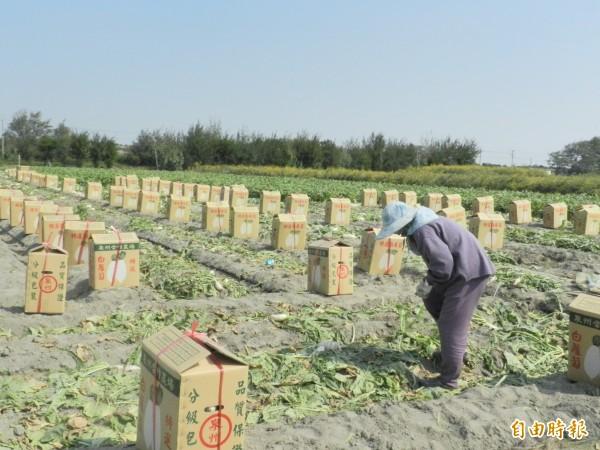 白蘿蔔因10月無雨而大量龜裂,賣相差只能留著供農婦免費撿拾。(記者鄭旭凱攝)
