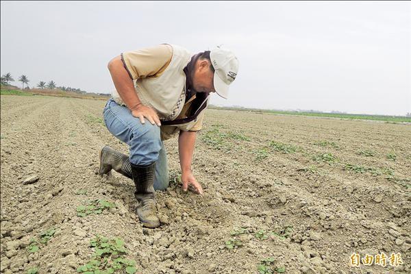 天熱又沒下雨,農民無奈整區農田找不到幾株生長正常的牛蒡。(記者劉婉君攝)