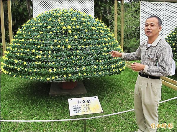 以一株苗嫁接出1580朵菊花的「大立菊」,預估一週後會盛開。(記者謝佳君攝)