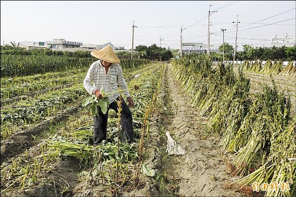 西港胡麻陸續收割,農民將胡麻一綑一綑立在田間曝曬。(記者劉婉君攝)