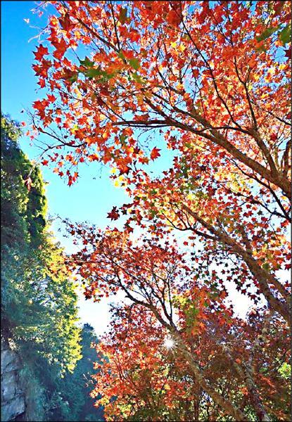 阿里山公路旁的楓葉已開始轉紅。(黃源明提供)