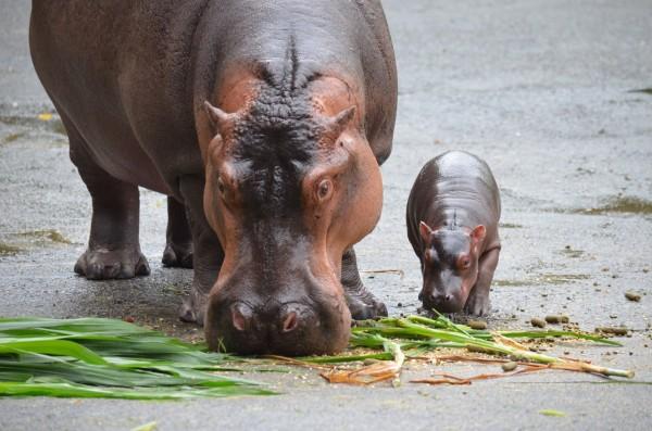 河馬寶寶「娜竹忠雨」(右)待在媽媽「娜竹忠」(左)身邊,顯得相當嬌小。(台北市立動物園提供)