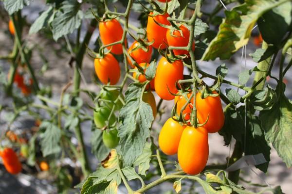 橙蜜香番茄進入產期,今年價、量可望有顯著成長。(記者陳祐誠攝)