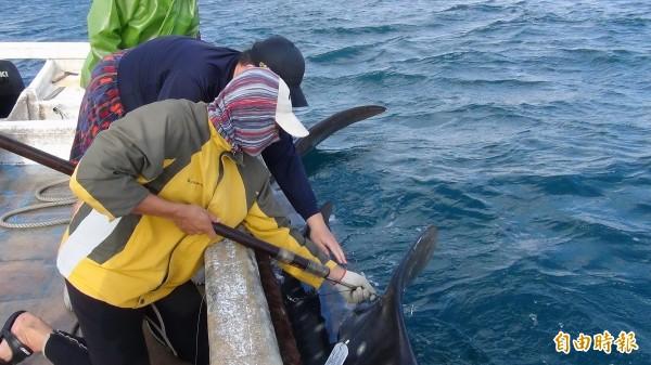 由於鯨鯊已列入保育類動物,因此由學術單位進行標識放流並裝設衛星追蹤器。(記者劉禹慶攝)