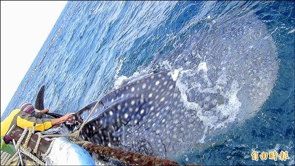 馬公鎖港定置網再傳鯨鯊誤闖成為今年第三尾標識放流。(記者劉禹慶攝)