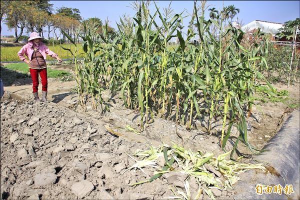 新港文教基金會自然農場的玉米遭竊。(記者林宜樟攝)