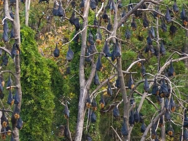 目前正值蝙蝠繁殖季節,澳洲雪梨出現龐大蝙蝠群。(圖取自每日電郵報)