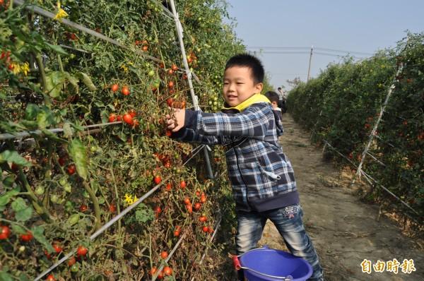 路竹番茄文化節「鮮採番茄列車」超夯,今吸引300多名親子下田體驗採番茄的樂趣。(記者蘇福男攝)