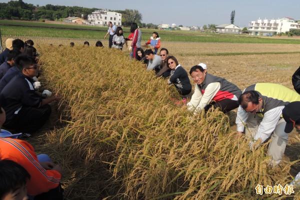 三校師生一同體驗割稻。(記者劉婉君攝)