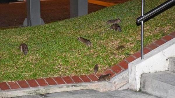 新加坡爆發鼠患危機。(圖擷取自南洋視界網站)