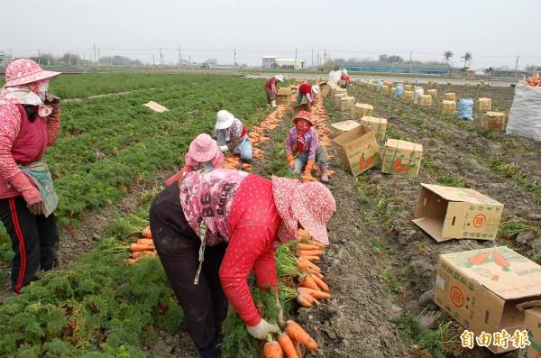 天冷紅蘿蔔價格大漲,農民歡喜採收。(記者鄭旭凱攝)
