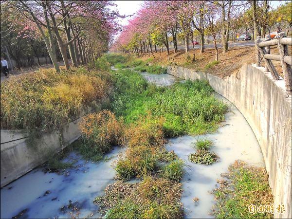 虎尾高鐵特定區內美人樹大道的農博大排污染惡化,溝水變乳白色。(記者黃淑莉攝)