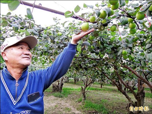 大社區農會第五產銷班果農李再德,推廣珍寶蜜棗(高雄八號)。(記者黃旭磊攝)