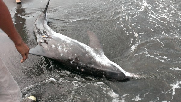 香港離島海域昨天發現一具已腐爛的年幼中華白海豚屍體。示意圖,圖非內文所提海豚。(資料照,記者陳文嬋翻攝)