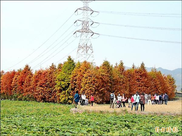 大批遊客在泰安國小旁的私人落羽松林前駐足拍照。(記者歐素美攝)