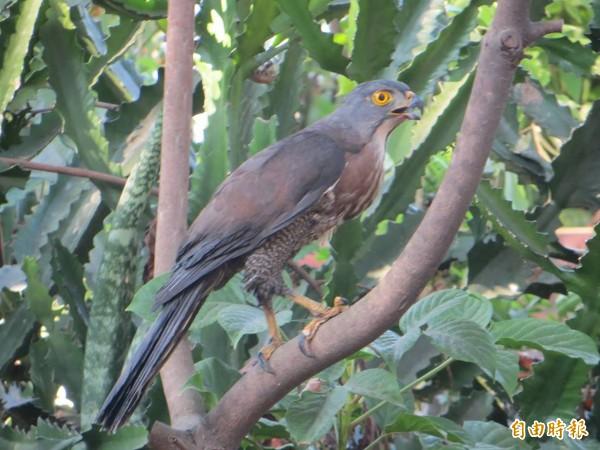 民眾在東區的東光園道上,發現保育類動物「鳳頭蒼鷹」。(記者林良哲攝)
