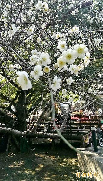 角板山行館的數百株白梅綻開,朵朵潔白高雅的梅花綻放枝頭。(記者李容萍攝)