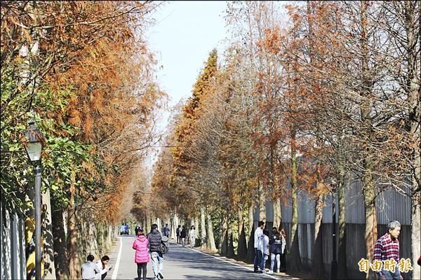 桃園市大溪區石園路五五八巷有一條長約一公里的「落羽松大道」,因天氣寒冷,樹葉逐漸轉紅,吸引不少遊客拍照。(記者林子翔攝)