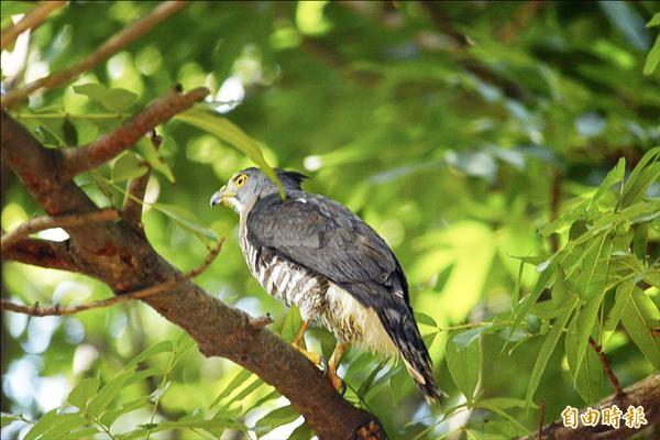 野放後的鳳頭蒼鷹,飛上北門高中校園的大樹。(記者楊金城攝)