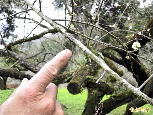 梅農指著染上白苔的梅枝,擔心白斑擴大。(記者劉濱銓攝)