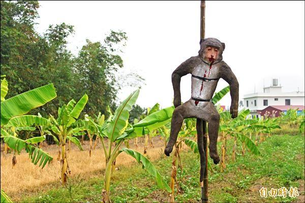 高雄市農業局邀請電影道具大師操刀設計「假猴屍」,分給旗山及六龜農民高掛果園「示眾」,試驗驅嚇獼猴已見成效。(記者陳祐誠攝)
