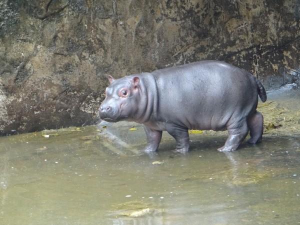 經過健康檢查,河馬寶寶「娜竹忠雨」確認是男生。(圖由台北市立動物園提供)
