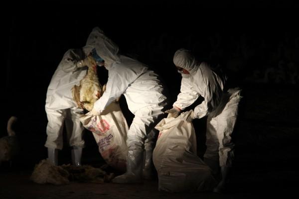 防疫人員穿著防護衣,處理死鵝屍體。(記者林宜樟攝)