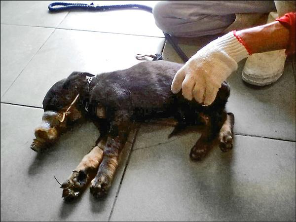 小狗倒臥在地奄奄一息。(記者陳文嬋翻攝)