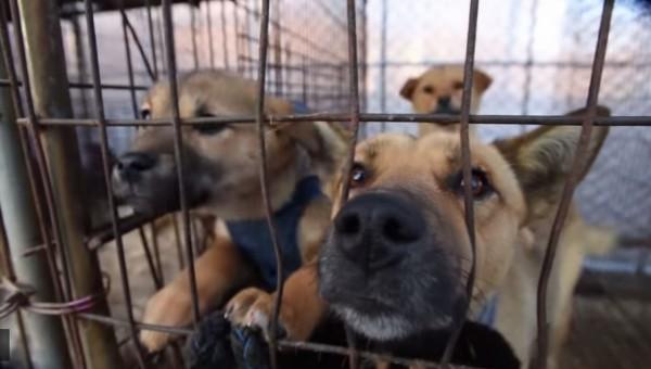 南韓特別設有狗肉繁殖場,專門供應狗肉。(擷自HSI網站)