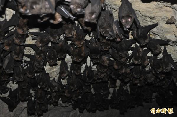 蝙蝠洞裡有數百隻蝙蝠,靜待黑夜降臨出洞覓食。(記者蘇福男攝)