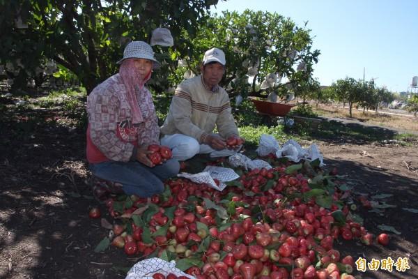 農民葉孟冬(右)苦嘆,這些落果一天不吃就完全失去販賣的價值,血本無歸。(記者陳彥廷攝)