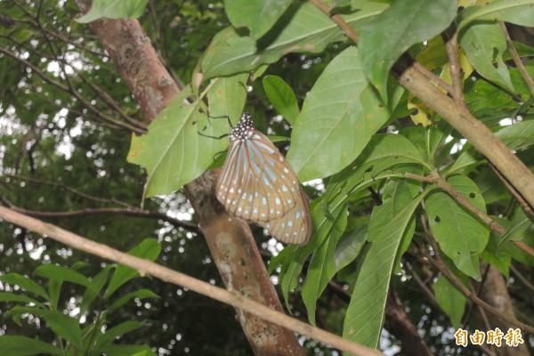 落單的小紋青斑蝶。(記者張存薇攝)