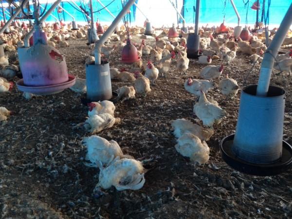 彰化再傳一疑染禽流感的土雞場,該場飼養2萬9300隻。(彰化縣動防所提供)「