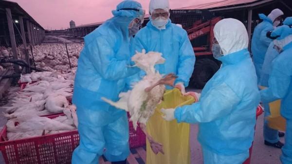 芳苑鄉肉鵝繫留場確認H5陽性,防疫人員晚間入場撲殺6000多隻肉鵝。(彰化縣動防所提供)