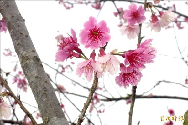 初鹿牧場櫻花祭開鑼,最特別的是有幾棵櫻花樹可同時見到白色及粉色櫻花。(記者張存薇攝)