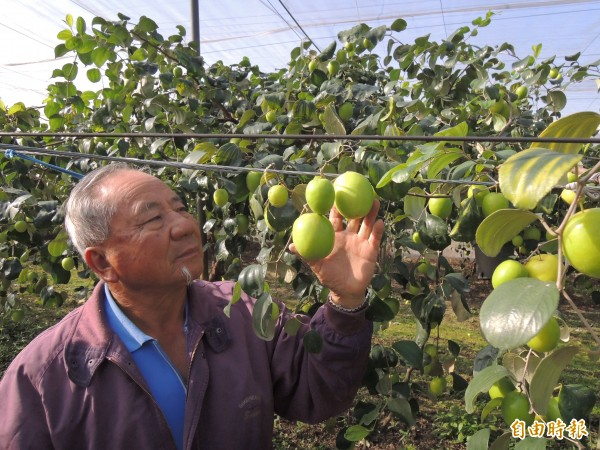 74歲果農楊正奈10多年堅持以無毒草生栽培方式種蜜棗。(記者黃淑莉攝)