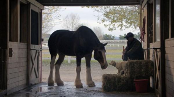 百威啤酒在一分鐘的廣告影片中拍出動物和人類的深厚感情。(擷取自YouTube)