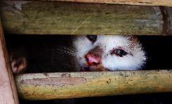日前越南警方查獲上千隻從中國運往越南的走私貓。(圖片擷取自bangkokpost.com)