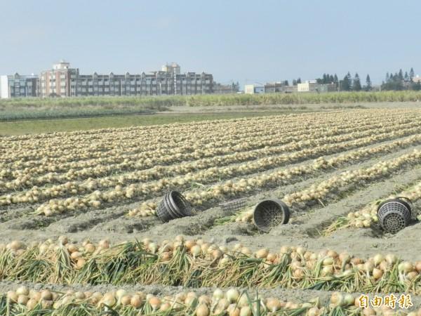 滿田的洋蔥在田間享受陽光浴。(記者鄭旭凱攝)