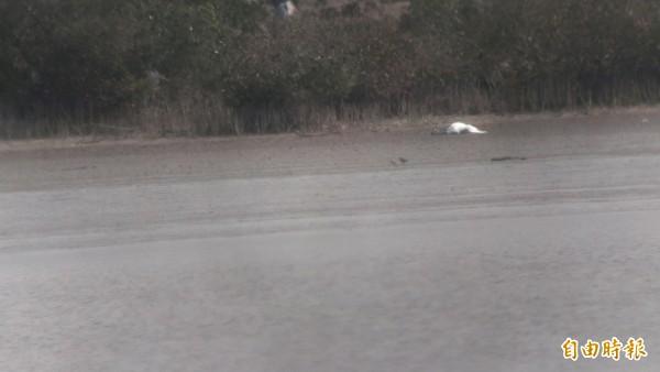七股頂山地區鹽灘地再發現一隻倒臥不動的黑面琵鷺。(記者劉婉君攝)