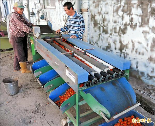 「高雄首選」橙蜜香番茄昨集貨,將前進中東為台爭光。(記者陳文嬋攝)