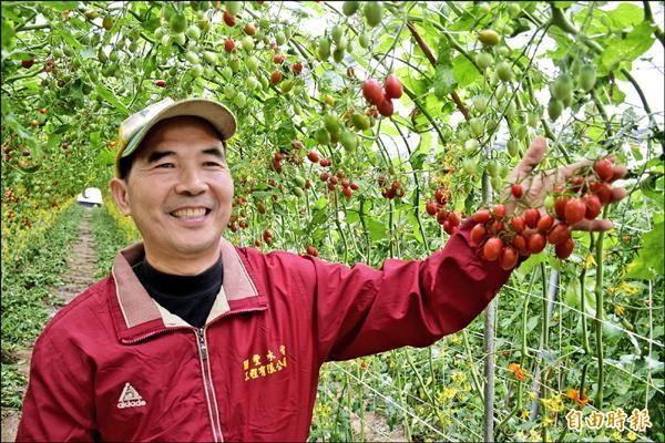 番茄達人蔡明勳17年前從日本引進溫室番茄種植技術,經改良採「隧道式培育法」,讓產量倍增,也方便採收。(記者吳世聰攝)