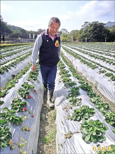 無農藥栽培,農改場、農試所草莓栽培新技術。(記者蔡政珉攝)