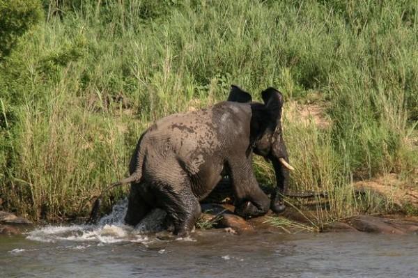 大象最後甩開了鱷魚,用膝蓋猛擊,還以象牙捅牠後,帶傷離去。(圖擷取自鏡報)