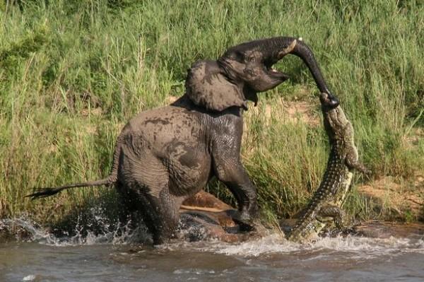 一名美國遊客在南非直擊了大象和鱷魚大戰過程,並用相機拍下這瞬間。(圖擷取自鏡報)