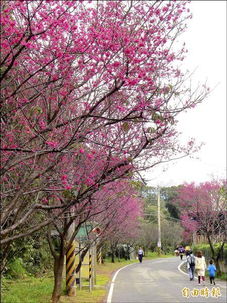 滬尾櫻花大道全長四.五公里,沿線山櫻花已經開了九成。(記者李雅雯攝)